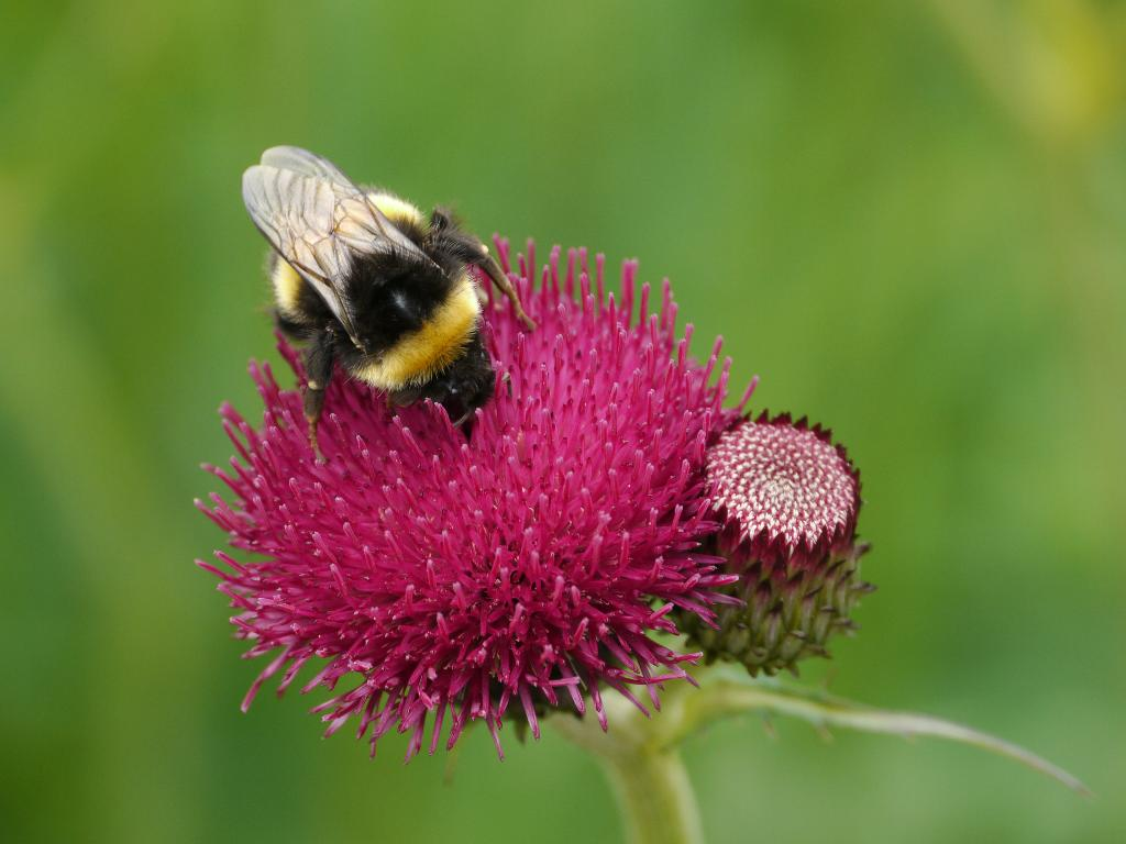 bumble bee on cirsium cropped